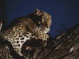 Leopard Rests on a High Tree Limb
