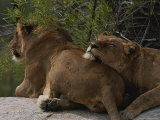 Pair of Lions, Panthera Leo, Rest on a Rock Under a Tree