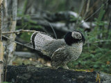 Ruffed Grouse Walking Along a Fallen Tree Trunk
