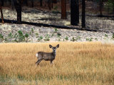 Young Mule Deer in Grass