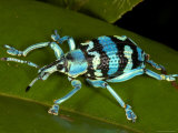 Colourful Weevil, on Leaf