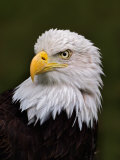 Adult Bald Eagle
