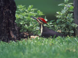 Pileated Woodpecker at Stump, Louisville, Kentucky, USA