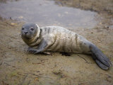 Baby Harbor Seal in Marquoit Bay, Brunswick, Maine, USA