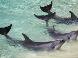 Dolphins, Sea World, Gold Coast, Queensland, Australia