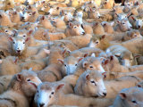 Mob of Sheep in Yard