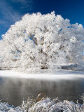 Hoar Frost on Willow Tree, near Omakau, Central Otago, South Island, New Zealand