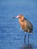 Reddish Egret Fishing, Ding Darling National Wildlife Refuge, Sanibel Island, Florida, USA