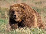Grizzly or Brown Bear, Kodiak Island, Alaska, USA