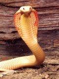 Albino Monocled Cobra, Native to SE Asia