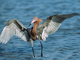 Reddish Egret Fishing in Shallow Water, Ding Darling NWR, Sanibel Island, Florida, USA