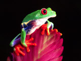Red Eye Tree Frog on Bromeliad, Native to Central America