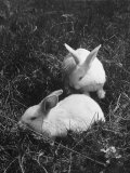 Two White Rabbits Nestled in Grass, at White Horse Ranch