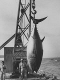 Buy 337 Lb. Tuna Caught at Cabo Blanco, Peru by Member of the Cabo Blanco Fishing Club at AllPosters.com