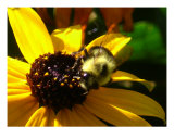 Bumble Bee Enjoying Yellow Daisy