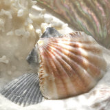 Buy Coral Shell III at AllPosters.com
