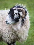 Herdwick Sheep, Borrowdale, Lake District, Cumbria, England