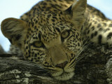 Female Leopard, Panthera Pardus, Resting on a Log, Mombo, Okavango Delta, Botswana