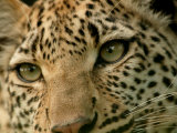 Close-Up of the Face of a Leopard, Panthera Pardus, Mombo, Okavango Delta, Botswana