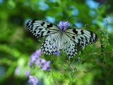 Rice Paper Butterfly, Idea Leuconoe, Drinks Nectar from Purple Flowers