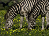 Two Common or Burchell's Zebras Grazing Among Wildflowers, Mombo, Okavango Delta, Botswana