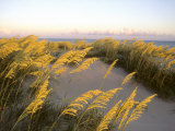 Sunlight Strikes Sea Oats on Dunes Near the Atlantic Ocean