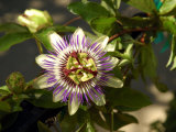 Passion Flower in a Garden in Seattle, Washington