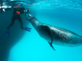 Goran Ehlme Encounters a Massive Female Leopard Seal, Antarctica