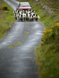 In Irish Shepherd Herds His Flock of Sheep, Clare Island, County Mayo, Ireland