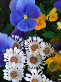 Pansies and Osteospermum Flowers in a Garden, Belmont, Massachusetts, USA