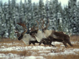 Trio of Caribou Bulls Migrate, St. Elias National Park, Alaska