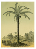 Astrocaryum Chambira Palm Tree, Botanical Illustration, c.1854