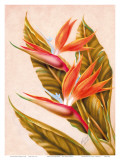 Hawaiian Bird of Paradise, c.1940s