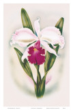 Hawaiian Cattleya Orchid