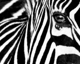 Black & White II (Zebra) Art Print