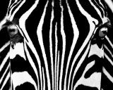 Black & White I (Zebra) Art Print