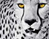 White Cheetah Art Print