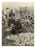 Farmer Collecting Husked Corn to Load into a Horse Drawn Wagon in Washington County, Maryland, 1937