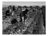 Carrot Pullers Harvesting in Coachella Valley, California, Feb 1937