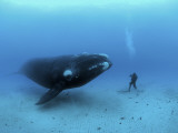 Buy A diver has a close encounter wih a southern right whale at AllPosters.com