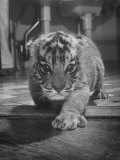 Rajpur, a Tiger Cub, Being Cared for by Mrs. Martini, Wife of the Bronx Zoo Lion Keeper