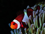 Buy Clown Fish (Amphiprion Ocellaris) at AllPosters.com