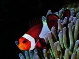 Buy Clown Fish (Amphiprion Ocellaris) at AllPosters.com