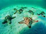 Buy Sea Stars (Protoreaster Nodosus) at AllPosters.com