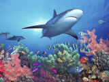 Buy Low Angle View of a Shark Swimming Underwater, Indo-Pacific Ocean at AllPosters.com