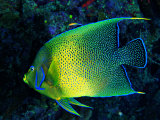 Buy Crescent Angel Fish (Pomacanthus) at AllPosters.com
