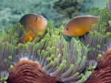 Buy Two Skunk Anemone Fish and Indian Bulb Anemone at AllPosters.com