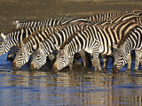 Herd of Zebras Drinking Water, Ngorongoro Conservation Area, Arusha Region