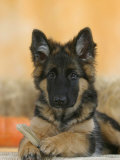 Domestic Dog, German Shepherd Alsatian Juvenile. 5 Months Old, with Rawhide Bone