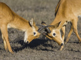 Two Male Puku Fighting, Chobe National Park, Botswana